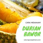 Cara Menanam dan Merawat Pohon Durian Bawor Agar Cepat Berbuah