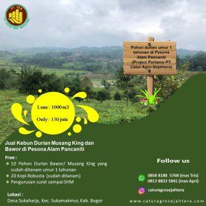 Jual Kebun Durian Bawor dan Kopi Robusta di Pesona Alam Pancaniti Bogor
